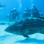 Grouper swimming diving in the Caribbean