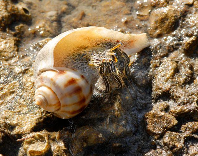 Dwarf hermit crab