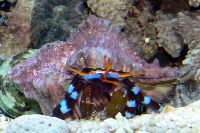 Electric Blue Hermit Crab 1