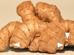 Ginger root with growth buds.