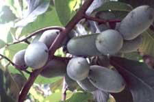 Fruit-heavy-yield
