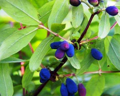 Honeyberry-Lonicera_coerulea