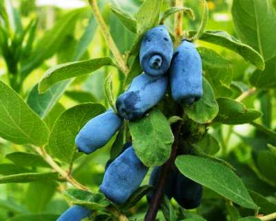 Honeyberry-Lonicera_coerulea