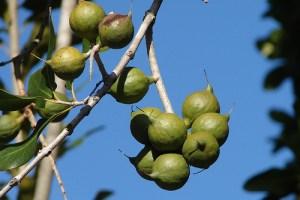 macadamia-agacta