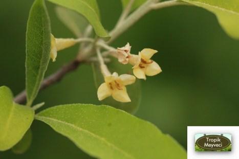 Goumi Çiçeği