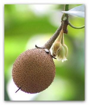 sapodilla meyvesi