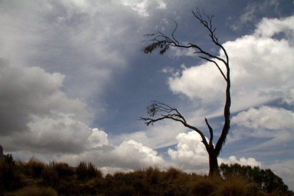 BREZO GIGANTE EN CHENNEK, PARQUE NACIONAL SIMIEN MOUNTAINS