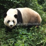 CHINA, DÍA 2: OSOS PANDA Y LLEGADA A KANGDING