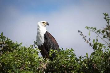 Visarend in Liwonde National Park