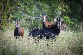 Op Safari in Malawi: Sabelantilopen in Liwonde National Park