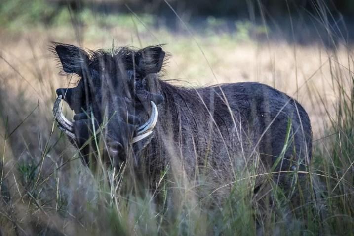 Wrattenzwijn verstopt zich in het gras in Liwonde National Park Malawi