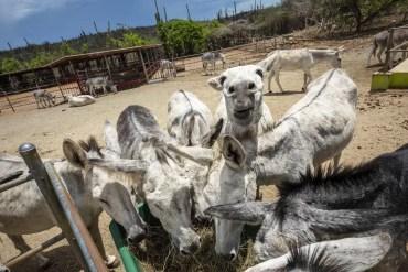 Donkey Sanctuary Aruba-26