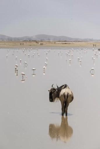 Gnoe in het water tussen flamingo's in Amboseli National Park