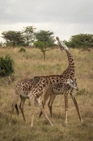 Vechtende giraffen in Nairobi National Park