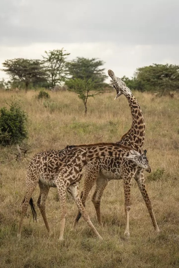 Vechtende giraffen in Nairobi National Park