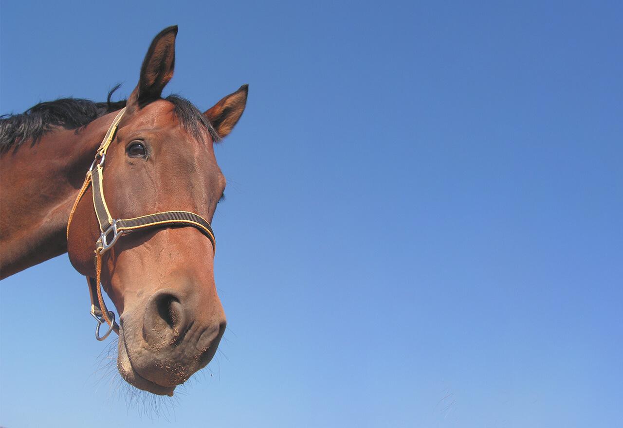 Ein braunes Pferd das in die Kamera schaut.