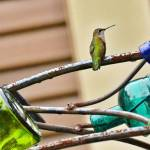 Hummingbird, courtesy of Rindy Jones-Greer