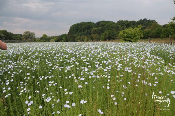 linen-fields-in-blue-blooms