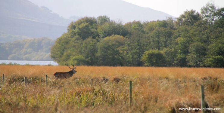 Berrea de ciervos en Irlanda