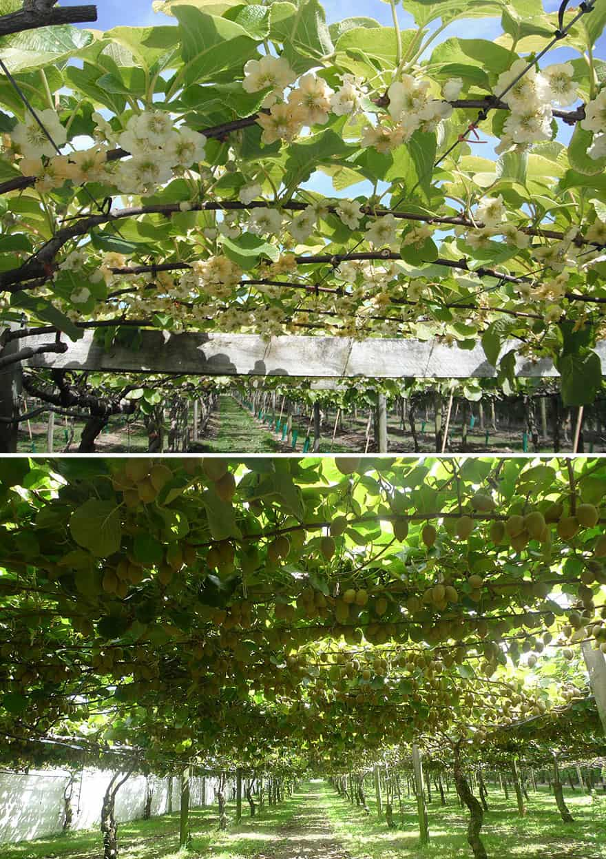 Two views of a kiwi orchard.