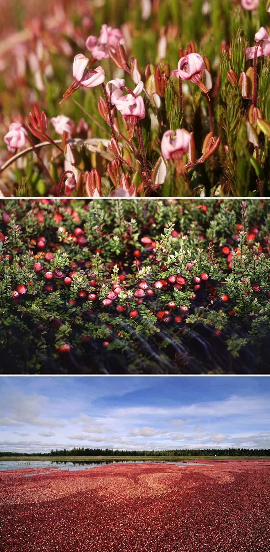 Cranberries growing, blooms, berries, bog.