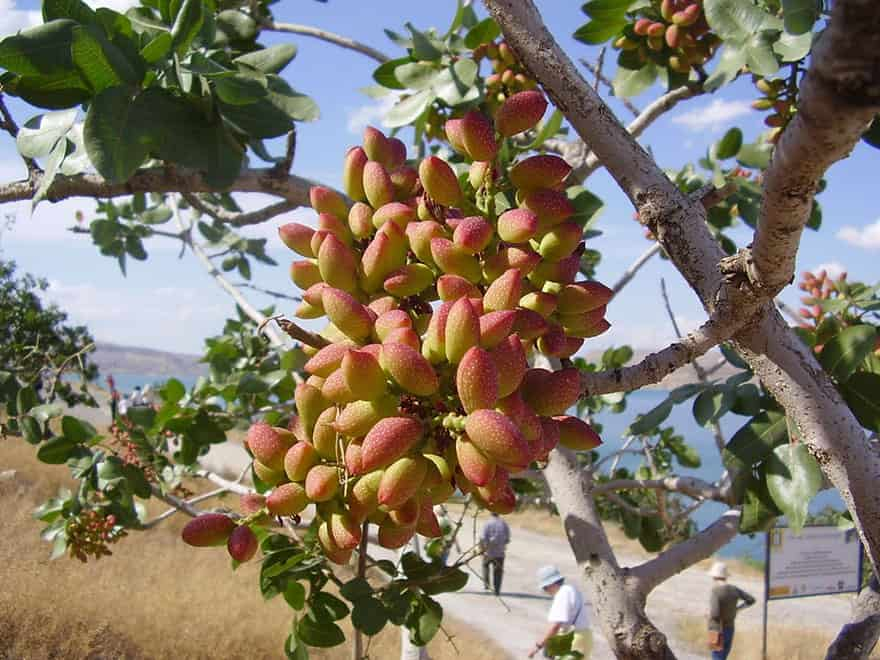 Pistachios growing from a tree branch.