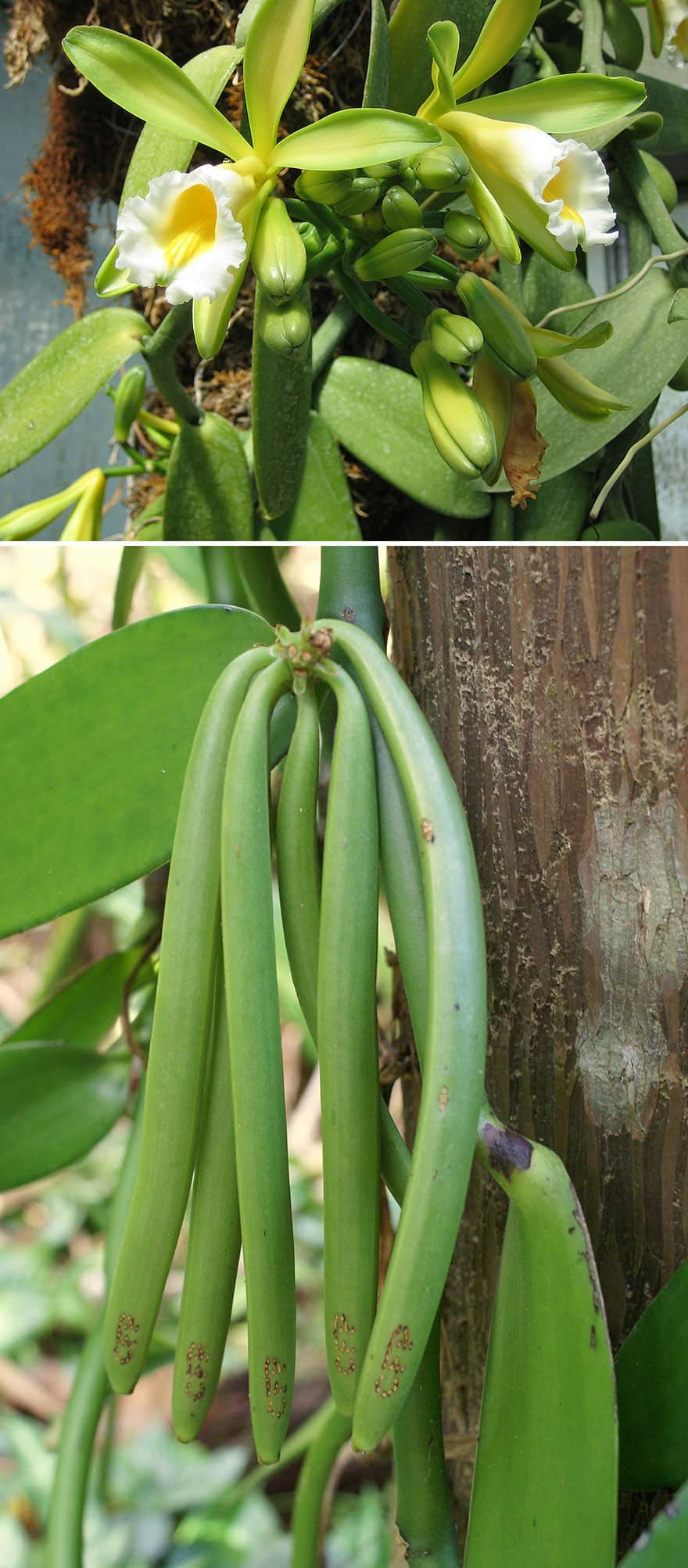 Vanilla pods hanging from a vine.