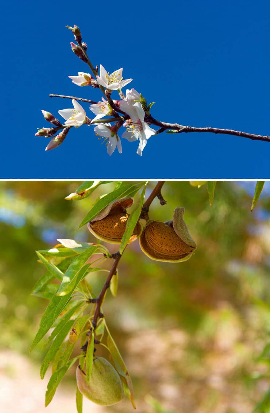 Trees branches with almond blossoms or nuts.