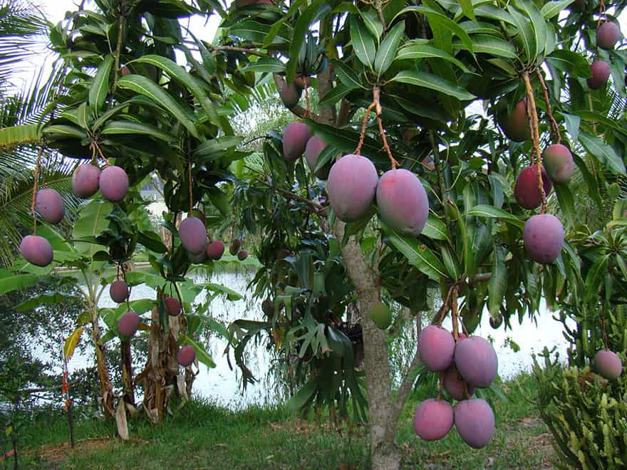 Mangos hanging from a tree.