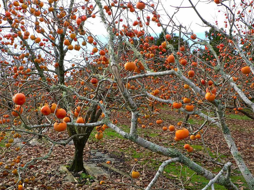 Persimmons hanging from a tree with few leaves left.