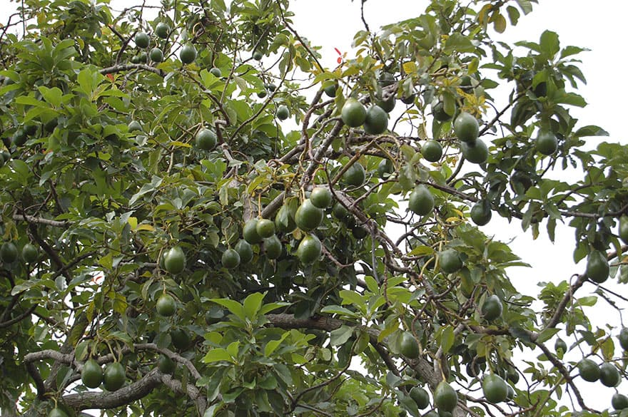 Avocados hanging from a tree.