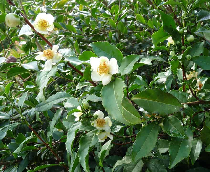 Tea tree with white blossoms.