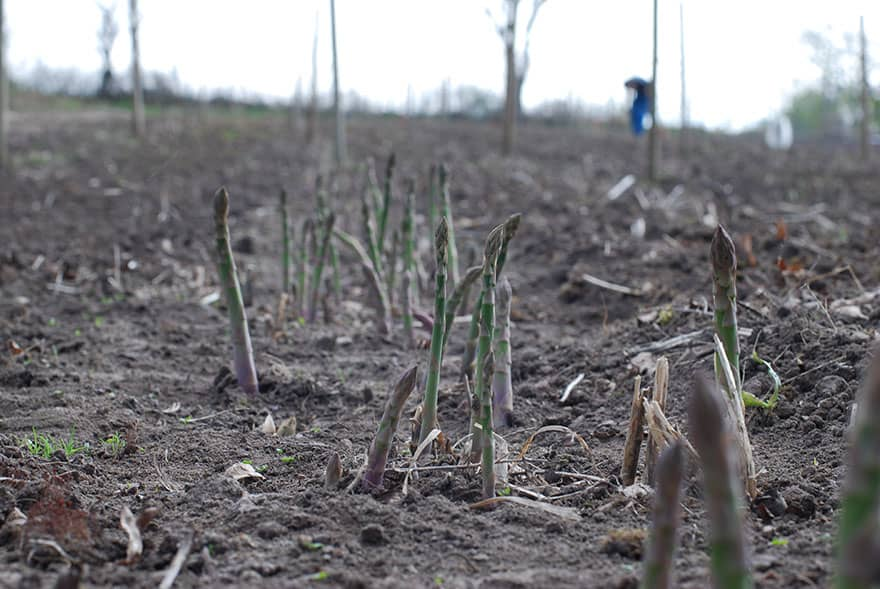 Asparagus growing straight up from dirt.