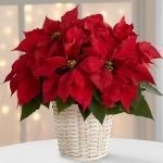 Traditional Red Poinsettia Basket