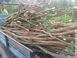 Harvested-cinnamon-stick-ready-to-transport
