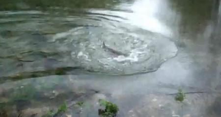 Brincadeiras com um salmão do Rio Mouro …