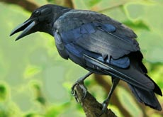 The experiments show that ravens were able to test possibilities in their minds in record time, select the most effective solution, and apply it correctly the first time they tried it, something that most intelligent creatures, cannot match.