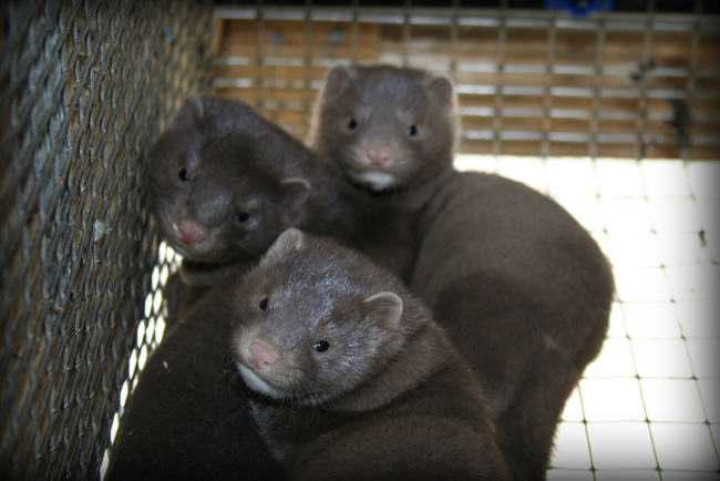 farmed mink are not skinned alive