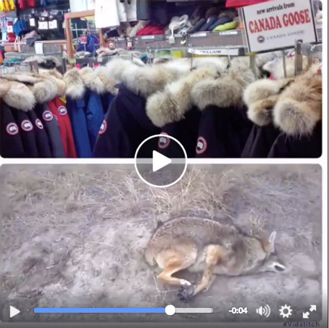 Canada Goose, Alan Herscovici, coyote, foot-hold trap, PETA