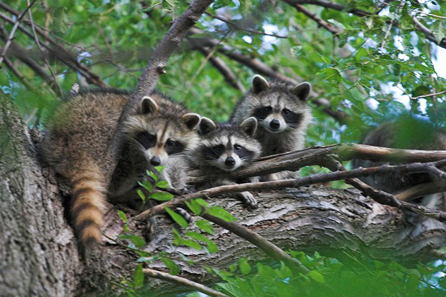 raccoon, conservation, fur, ethical, ethical clothing, wildlife management
