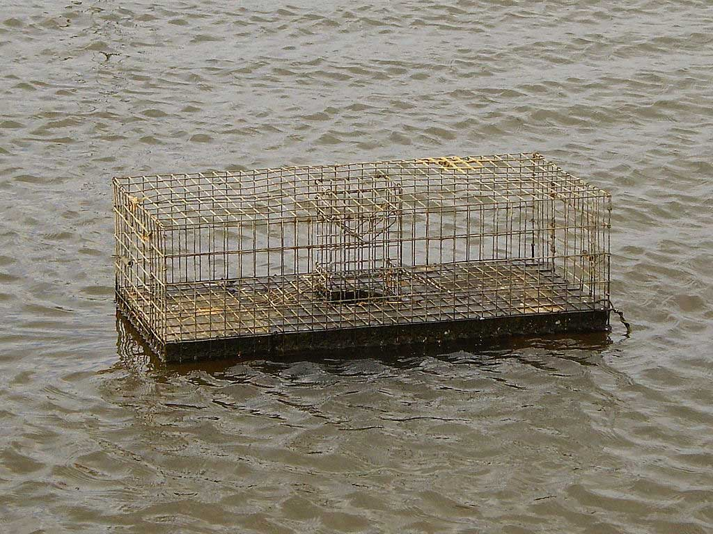 Muskrat trap in the Netherlands