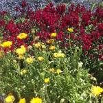 A bed of mixed flowers in daylight, with yellows colors in the foreground, deep reds in the middle, and purple in the background.