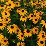 Closeup photo of a mass of Black-eyed Susan flowers.