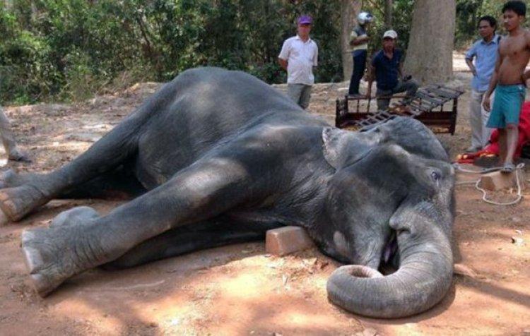 Sambo-The elephant