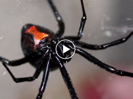heres-what-happens-when-you-get-bitten-by-a-black-widow