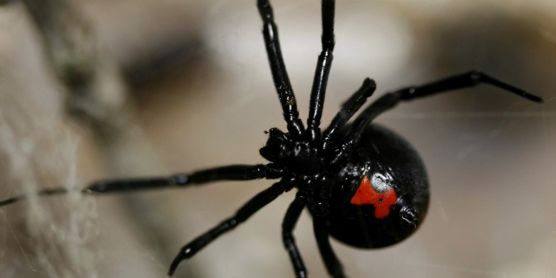heres-what-happens-when-you-get-bitten-by-a-black-widow1
