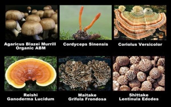 medicinal-mushroom-varieties