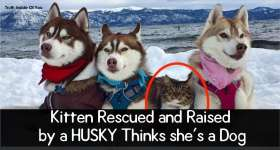 Kitten Rescued and Raised by a HUSKY Thinks she's a Dog