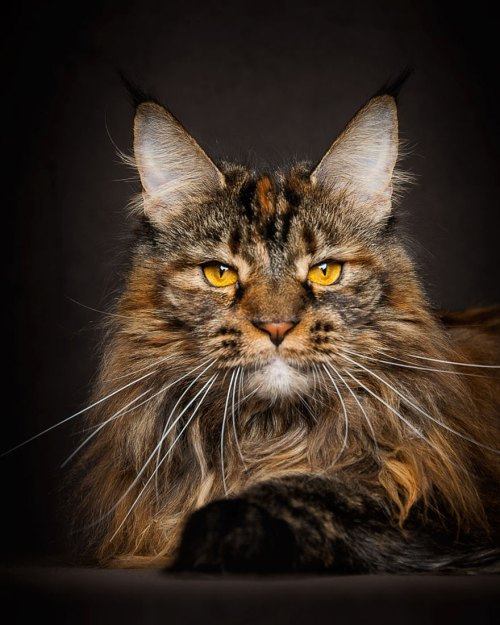 Maine Coons