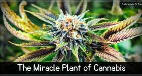 The Miracle Plant of Cannabis